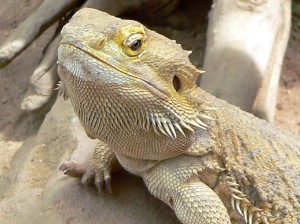 Lizard - courtesy of Wikipedia.org